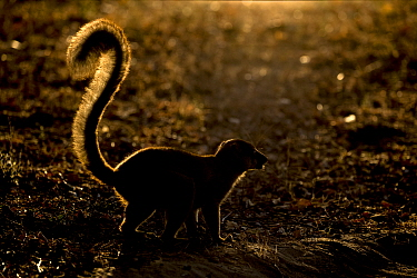 Common brown lemur (Eulemur fulvus) backlit in late afternoon light, Anjajavy Private Reserve, north west Madagascar.