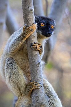 Common brown lemur (Eulemur fulvus) portrait, Anjajavy Private Reserve, north west Madagascar.