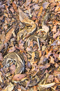 Madagascar ground boa (Acrantophis madagascariensis), well camouflaged against leaves, Anjajavy Private Reserve, north west Madagascar.