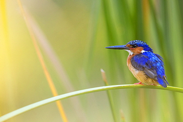 Madagascar / Malagasy kingfisher (Alcedo vintsioides) perching, Anjajavy Private Reserve, north west Madagascar.
