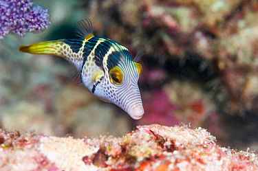 Black saddled puffer / Valentin's sharpnose puffer (Canthigaster valentini) in coral reef, West Papua, Indonesia.