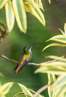 White chested emerald hummingbird (Amazilia chionpectus chioopectus) Trinidad.