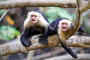 White fronted capuchin monkey (Cebus capucinus) two resting, Costa Rica, March.