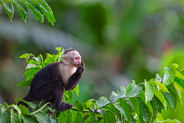 White fronted capuchin monkey (Cebus capucinus) feeding, March, Costa Rica