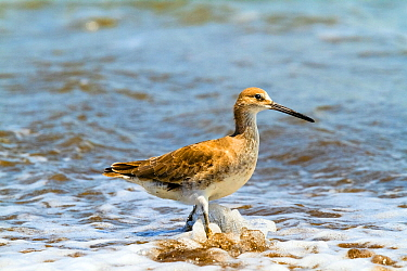 Willet (Tringa semipalmata) feeding in the surf, Corcovado National Park, Costa Rica. March,