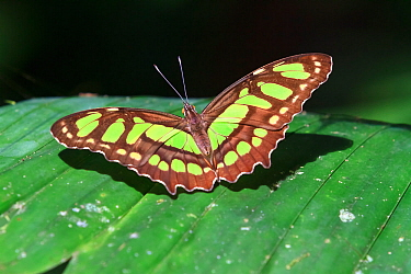 Malachite butterfly (Siproeta stelenes biplagiata) on leaf, Corcovado National Park, Osa peninsula, Costa Rica.