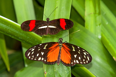 Red postman butterfly (Heliconius erato) (above) and Tiger longwing (Heliconius hecale) La Paz Waterfall Gardens, Costa Rica.