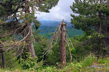 Austrian pine trees (Pinus nigra calabrica) Sila National Park,  Calabria, Italy. June.