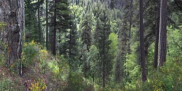 Austrian pine (Pinus nigra calabrica) forest. Sila National Park,  Calabria, Italy.