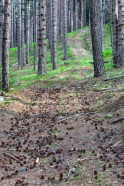 Austrian pine (Pinus nigra calabrica) trees with cones on the ground, Sila National Park,  Calabria, Italy, June.