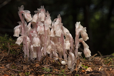 Indian pipe (Monotropa uniflora) New Brunswick, Canada, July.