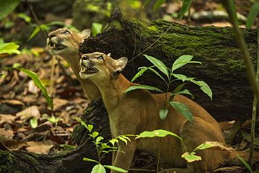 Pumas (Puma concolor) stalking a troop of howler monkeys,  Corcovado National Park, Costa Rica, May.
