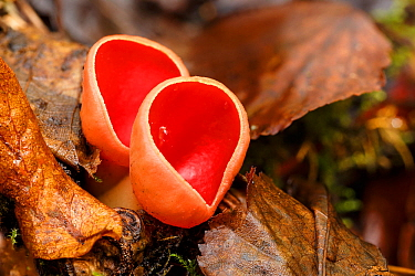 Scarlet elf cup (Sarcoscypha austrica) Tintern, Wye Valley, Monmouthshire, Wales, UK. February.