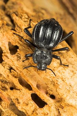 Darkling beetle (Akis ilonka) Algarve, Portugal.