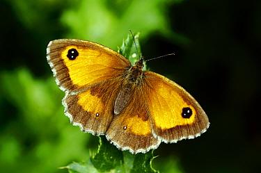 Hedge Brown / Gatekeeper butterfly (Pyronia tithonus) basking wings open, Southwest London, England, UK, July.