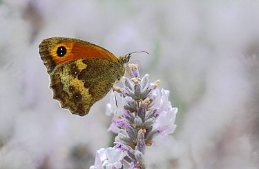 Hedge Brown / Gatekeeper butterfly (Pyronia tithonus) feeding from lavender. Surrey, England, UK. July.