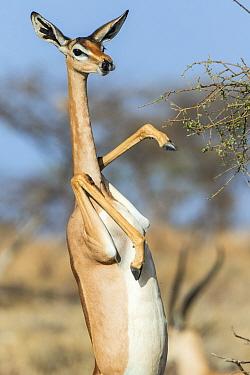 Gerenuk (Litocranius walleri) female standing on hind legs to feed on acacia tree, Samburu Game Reserve, Kenya