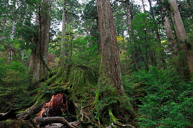 The Wilson stump, a  Japanese sugi pine (Cryptomeria) which was  cut by the Shimazu clan in 1586, at an estimated age of over 3,000 years. The base circumference is 32 m and 4.39 m across at chest hei...
