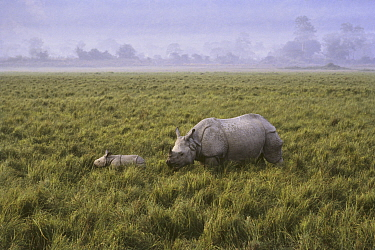 Indian rhinoceros (Rhinoceros unicornis) adult and calf, Kaziranga National Park UNESCO Natural World Heritage Site, Assam, India. Small repro only.