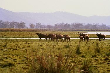 Wild water buffalo (Bubalus arnee) herd in Kaziranga National Park UNESCO World Heritage Site, India. Small repro only.