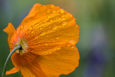 Welsh poppy (Meconopsis cambrica) flower in rain, UK, April 2014.