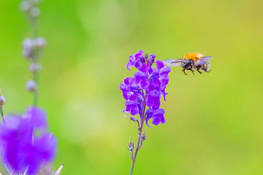 Common carder bee (Bombus pascuorum), flying to  Purple toadflax (Linaria purpurea) Monmouthshire, Wales, UK, July.