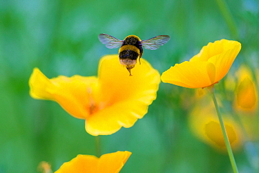 Buff tailed bumblebee (Bombus terrestris) in flight to Welsh poppy (Meconopsis cambrica) Monmouthshire, Wales, UK, July.