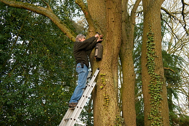 Man installing Schwegler Bat Box on oak (Quercus robur) tree, Herefordshire Bat Group, Docklow Church, Herefordshire, England, UK. February 2017.