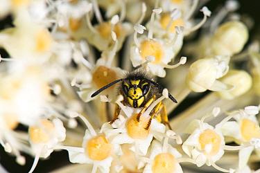 German wasp (Vespula germanca) head shot on False castor oil plant (Fatsia japonica), garden, Herefordshire Plateau, England.