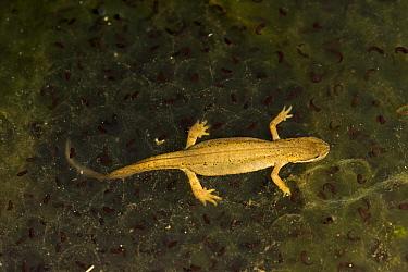 Smooth newt (LIssotriton vulgaris) female on top of Frogspawn (Rana temporaria), Bromyard Downs, Herefordshire, England.