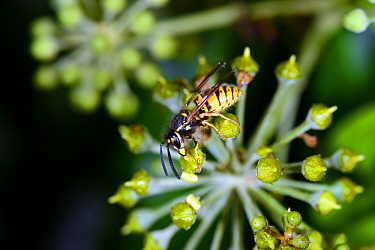 Common Wasp (Vespula vulgaris) feeding on Ivy (Hedera helix) flower, Leominster Priory, Herefordshire, England, UK, October 2016.