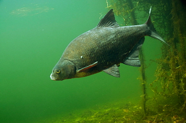 Common bream (Abramis brama) in lake, the Netherlands, August.