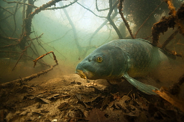 Common carp (Cyprinus carpio) amongst  the roots of  trees along lake shore, the Netherlands, March.