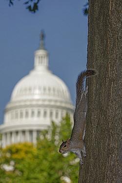 Eastern grey squirrel (Sciurus carolinensis), with US capitol building in background, Washington D.C, USA, June 2017.