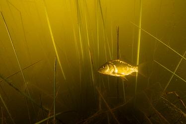 Common carp (Cyprinus carpio) underwater, France.