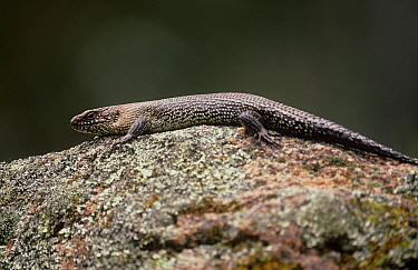 Cunningham's Skink (Egernia cunninghami), Kanangra-Boyd National Park, Greater Blue Mountains UNESCO Natural World Heritage Site, New South Wales.