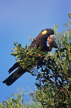 Yellow-tailed Black Cockatoo (Calyptorhynchus funereus) feeding, Thirlmere Lakes National Park, Greater Blue Mountains UNESCO Natural World Heritage Site, New South Wales.