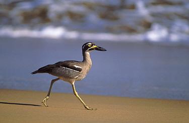 Beach stone curlew (Esacus neglectus) , Ningaloo Marine Park, Ningaloo Coast UNESCO Natural World Heritage Site, Western Australia.