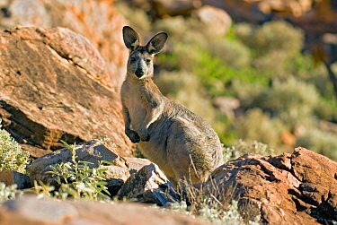 Common wallaroo (Macropus robustus) Purnululu National Park UNESCO Natural World Heritage Site, Western Australia, Australia.