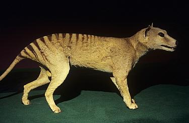 Thylacine (Thylacinus cynocephalus) taxidermy model, Tasmanian Wilderness UNESCO Natural World Heritage Site, Tasmania, Australia. Extinct