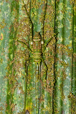 Giant spiny rainforest katydid (Phricta spinosa) camouflaged, Palmerston National Park, Wet Tropics of Queensland UNESCO Natural World Heritage Site, Queensland, Australia.