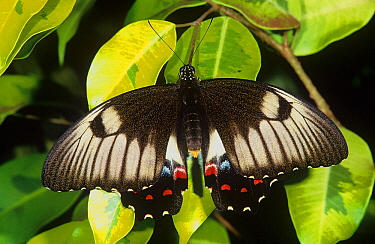 Orchard butterfly (Papilio aegeus subsp. aegeus), Lake Barrine, Crater Lakes National Park, Wet Tropics of Queensland UNESCO Natural World Heritage Site, Queensland, Australia.