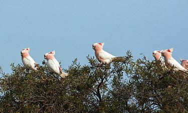 Major Mitchell's cockatoo (Cacatua leadbeateri) flock, Willandra Lakes UNESCO Natural World Heritage Site, New South Wales, Australia.