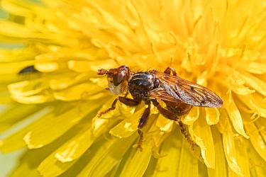 Conopid fly  (Myopa pellucida) on dandelion,  Beverley Court Gardens, London, England, UK. April.