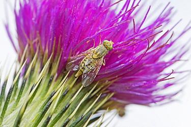 Tephritid fly  (Terellia tussilaginis)  Brockley Cemetery, Lewisham, London, England, UK  July 2016