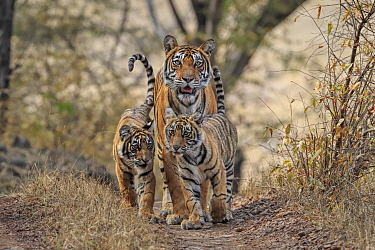 Bengal tiger (Panthera tigris) tigress 'Noor' with cubs, Ranthambhore, India