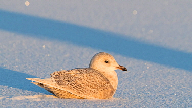 Iceland gull (Larus glaucoides), juvenile in snow, Finland, January.