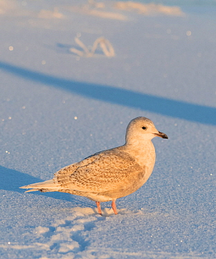 Iceland gull (Larus glaucoides) juvenile with tracks, Finland, January.