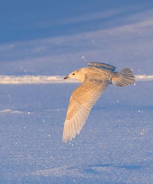 Iceland gull (Larus glaucoides) juvenile flying, Finland, January.