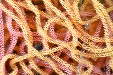 Close-up view of strands of multicolored Sea hare eggs (Aplysia sp.) Hiwasa, Japan, May.